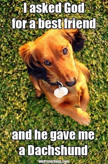 Dachshund are super loyal to their owners