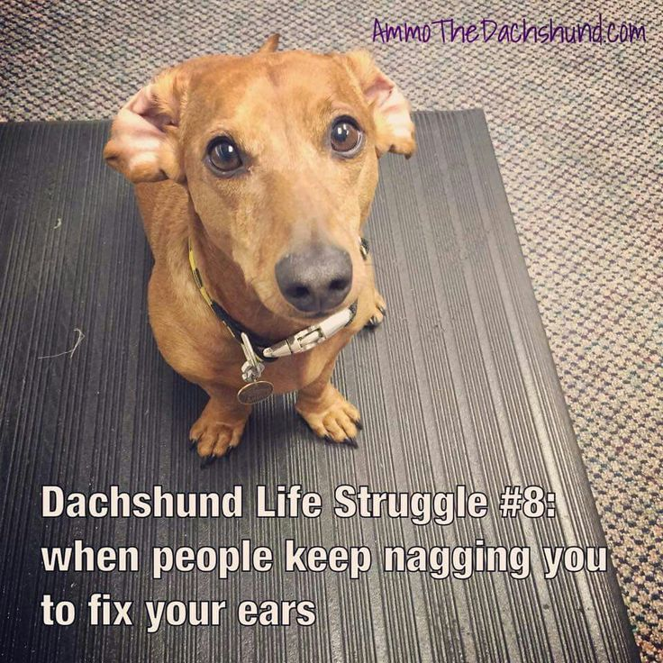 Dachshund with ears that need to be flipped over and returned to the factory position