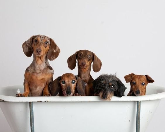 "Dachshunds come in several different ""flavors"" like big, small, wire haired"