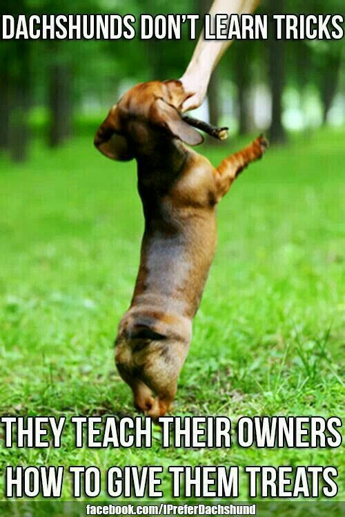 Dachshund doing tricks to get treats