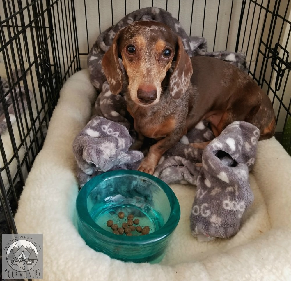 Dachshund enjoying dinner in her dog crate