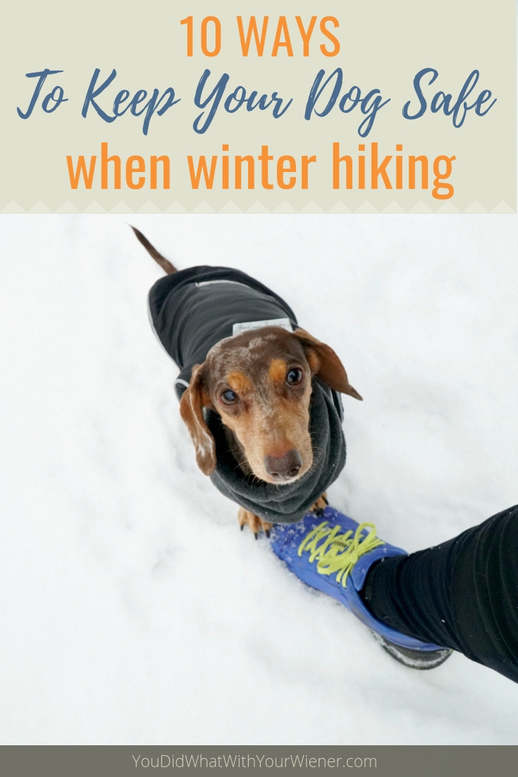 Dachshund on snowshoe hike