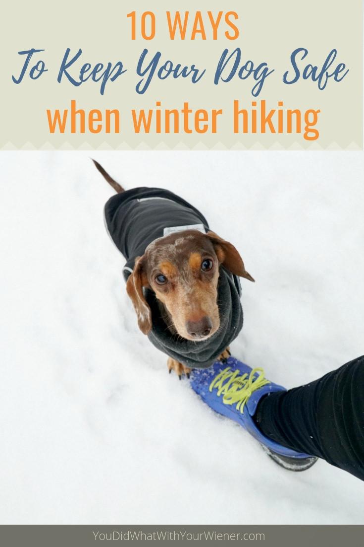 Dachshund on snowshoe hike
