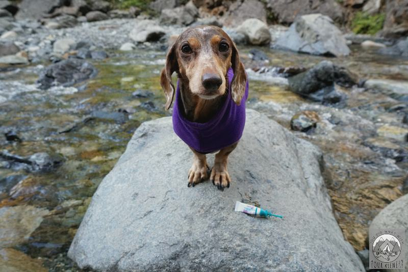 Dachshund by a stream about ready to get her monthly treatment with Vectra 3D flea and tick