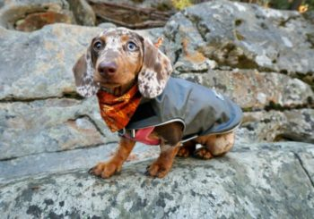 4 Warm Dachshund Fleece Coats That Actually Fit