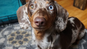 Dachshund puppy looking expectantly for a training treat