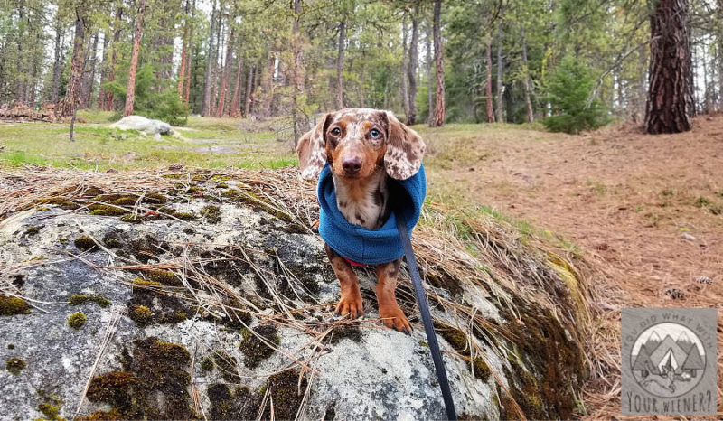 Photo of Dachshund Hiking on a Rock panned out to give perspective