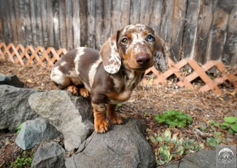 Young spotted dachshund puppy sitting on rocks in a garden.