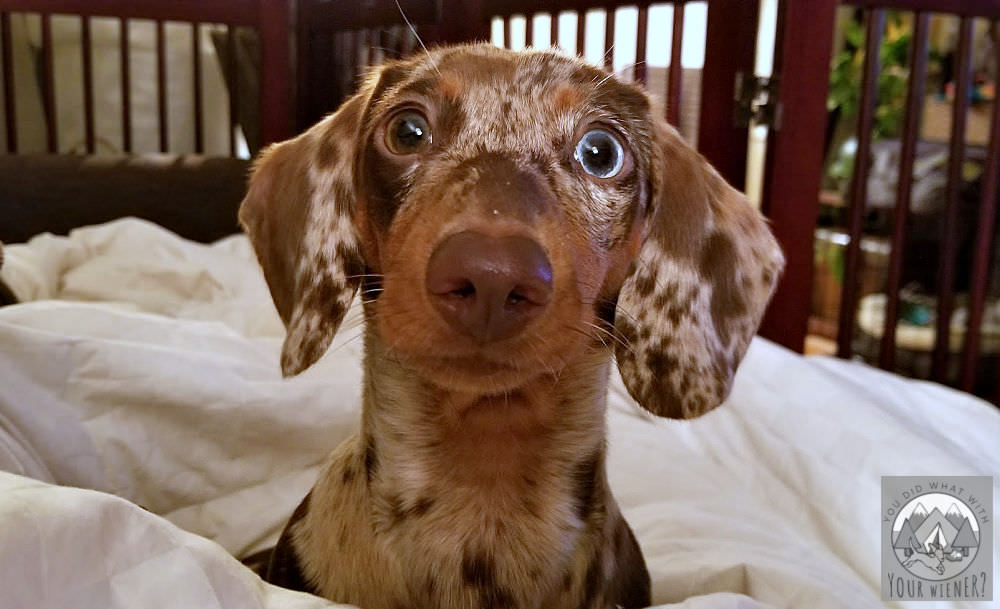 Dachshund puppy reacting to their name being called