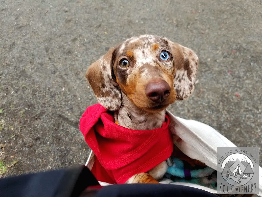 Dachshund puppy being carried in a sling bag before she has her vaccinations