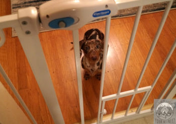 Spotted dachshund puppy looking up at the camera, standing behind a white plastic puppy gate
