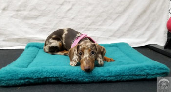 Spotted dachshund puppy looking at the camera wearing a pink collar and lying on a blue square fuzzy mat