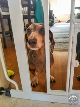 A Dachshund stares into the kitchen from behind a closed baby gate.
