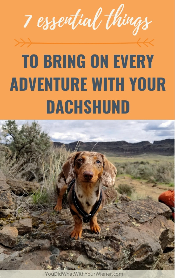 It's important to bring these things along when you're out and about with your Dachshund