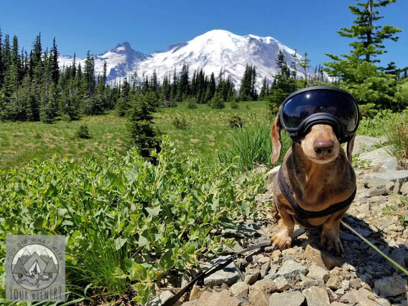 Dog 10 feet from the parking log in Mount Rainier National Park - not breaking the park rules
