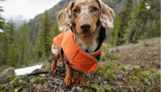 Hiking Dachshund standing on the trail with an orange dog jacket on