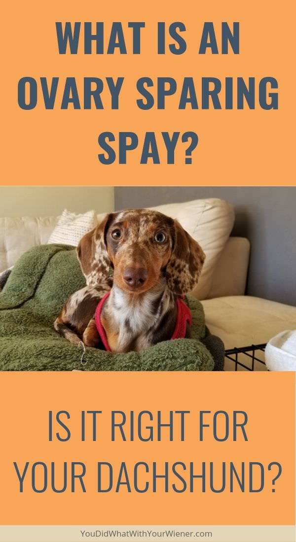 A traditional spay might not be right for your dog. Learn about the pros and cons of a second option - an ovary sparing spay (OSS).