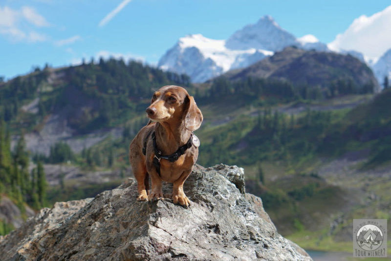 Dachshund dog standing on a rock with a mountain in the background