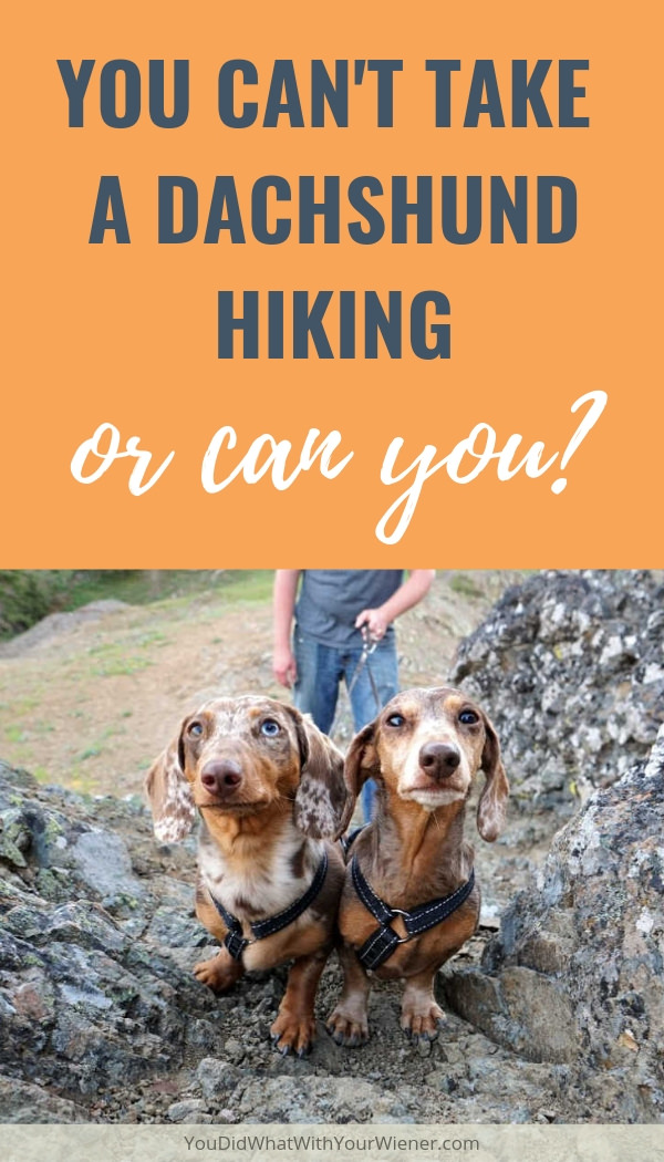 Can you take a Dachshund hiking? Many people think you can't because of their small size and short legs.