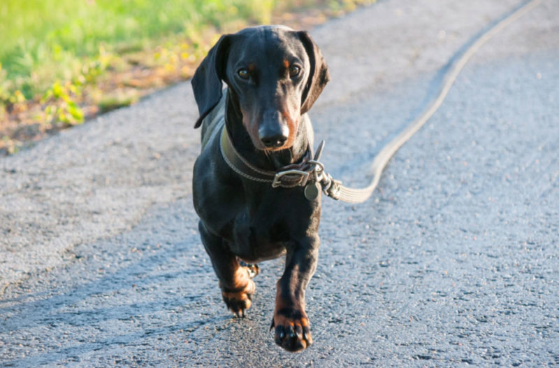 Leashed black and tan short haired Dachshund out for his daily walk - regular exercise is important