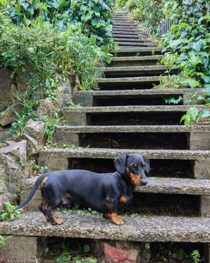Dachshund on the stone stairs with growing garden plants after rain