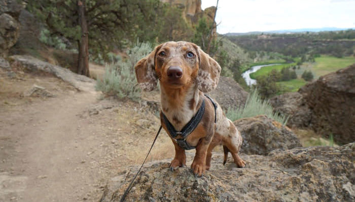 Dachshund out hiking sitting on a rock at Smith Rock State Park