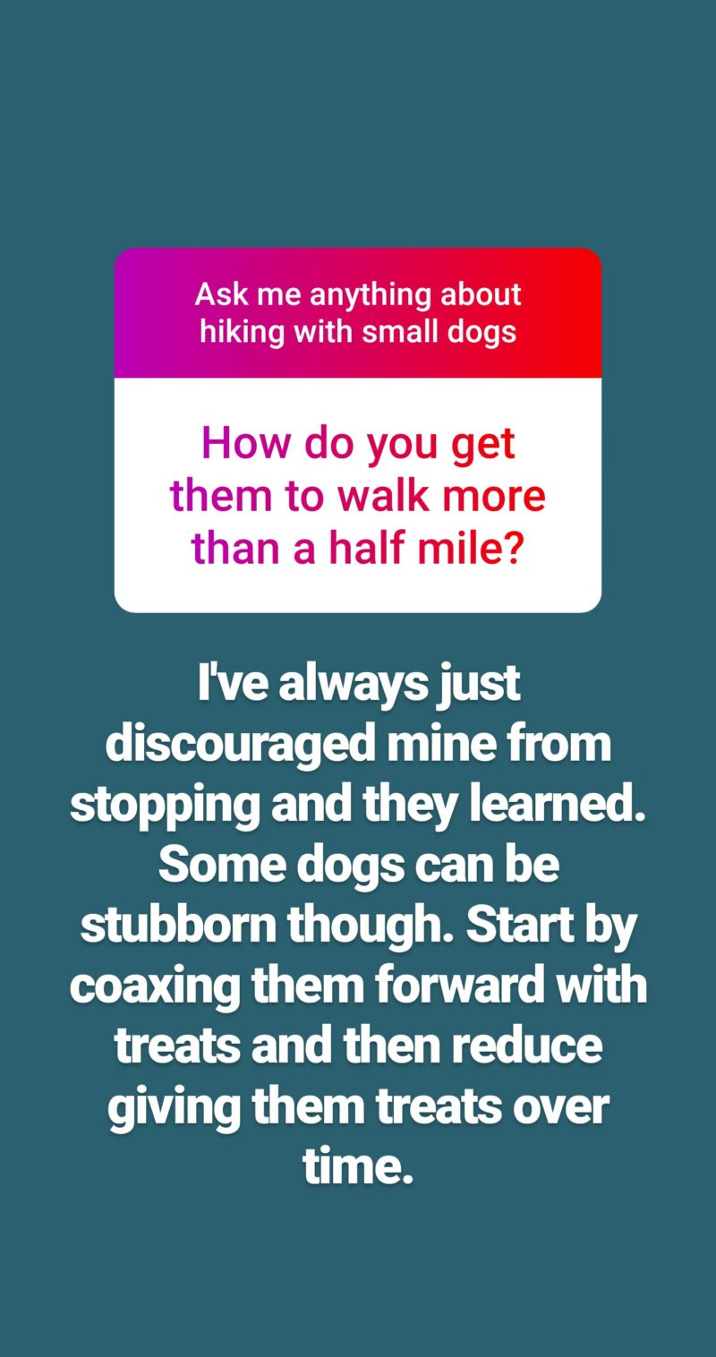 Reader Question Text: How do you get your Dachshund to walk more than half a mile without stopping?