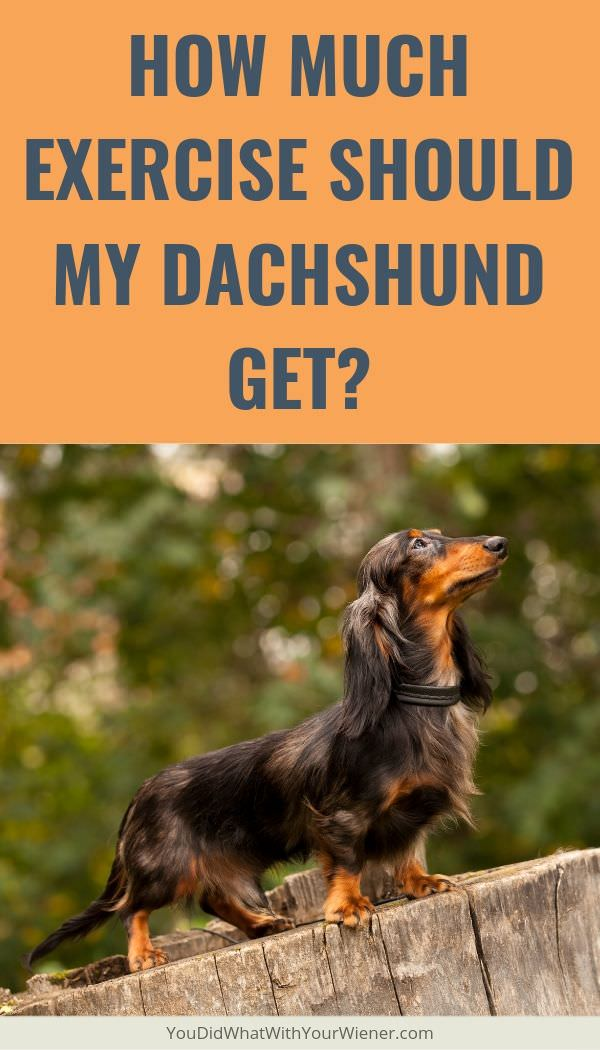 What's the Minimum Amount of Exercise My Dachshund Needs?