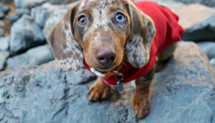 Cute Dachshund Puppy in a red sweater