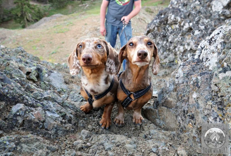 Two Dachshunds hiking climbing a rock