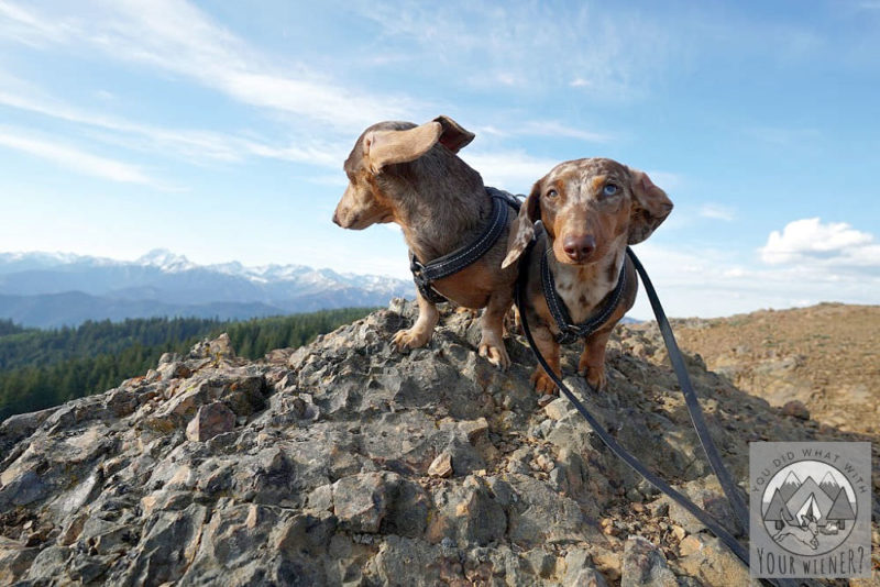 Two Dachshunds at the top of a mountain one is looking away
