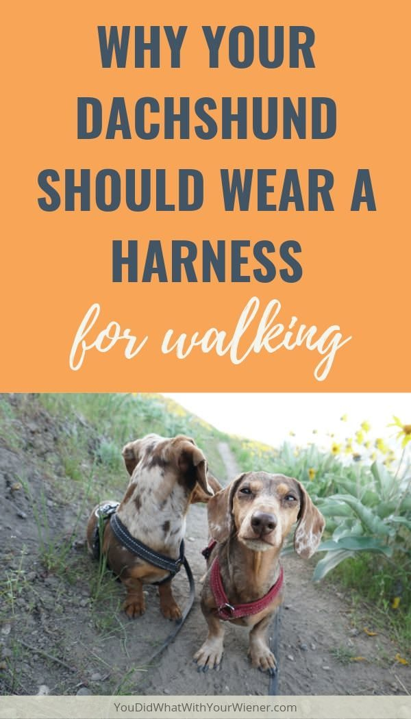 Read why your Dachshund should always wear a harness instead of a collar while walking