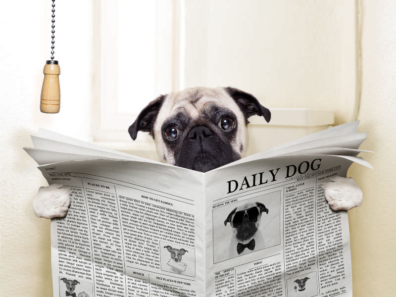 Dog sitting on the toilet reading the newspaper