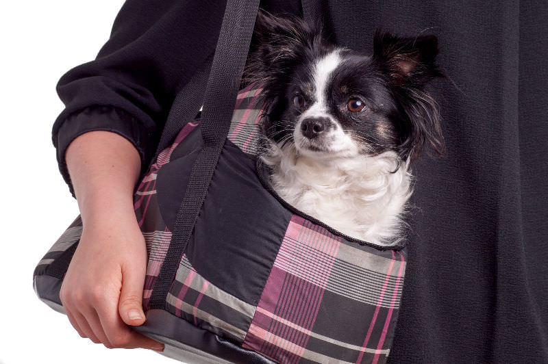 Small dog in soft sided pet carrier slung over a lady's arm like a purse