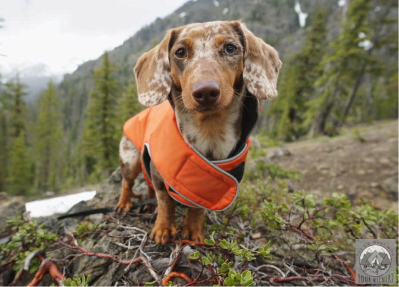 Dachshund in an orange Teckelklub Trench Jacket in the Mountains