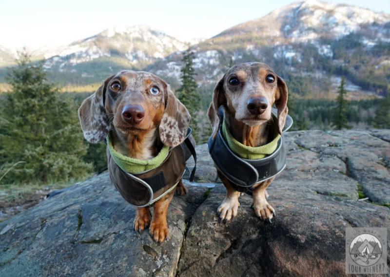 Two Dachshunds wearing layered jackets in the mountains