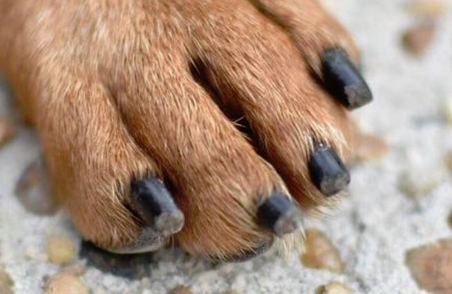 A Dachshund's toenails trimmed very short