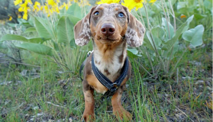 Dachshund wearing a harness in a field of yellow flowers