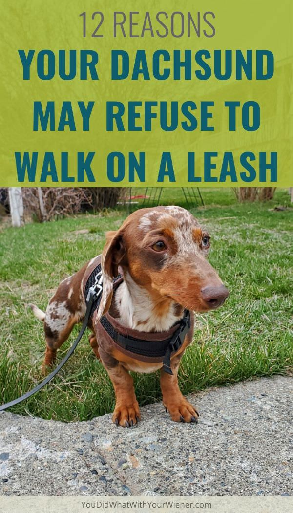 Frustrated that your Dachshund refuses to go for a walk on leash? Here are 12 reasons that your dog might dig in and refuse to budge.