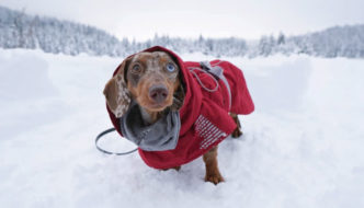 How to Get Your Dachshund to Walk in a Harness or Jacket