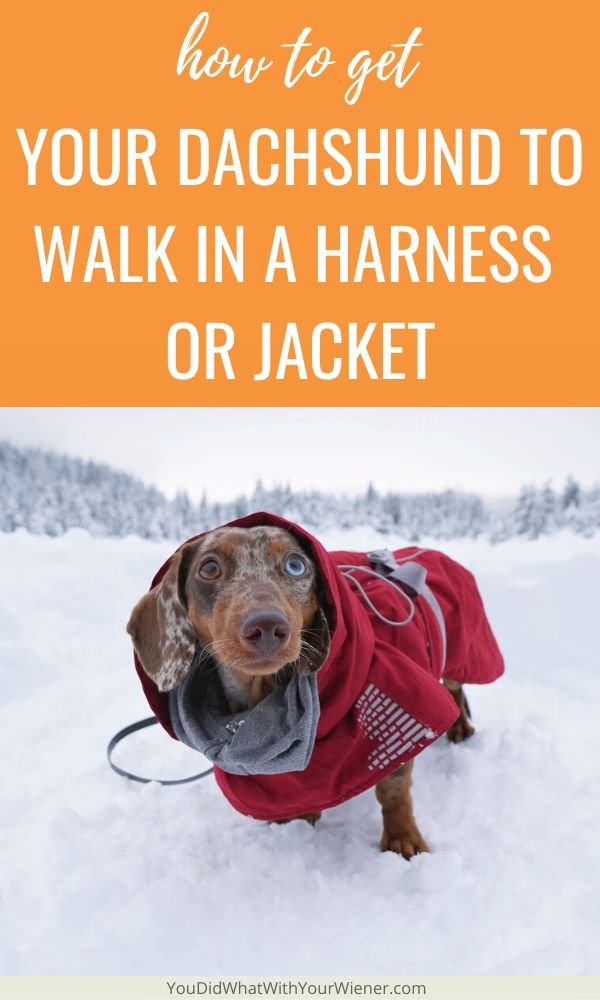 Does your Dachshund refuse to walk in a harness or jacket? The tips in this article will help solve that problem.