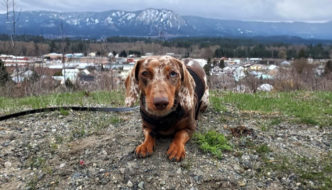 12 Reasons Why Your Dachshund May Refuse to Walk on a Leash