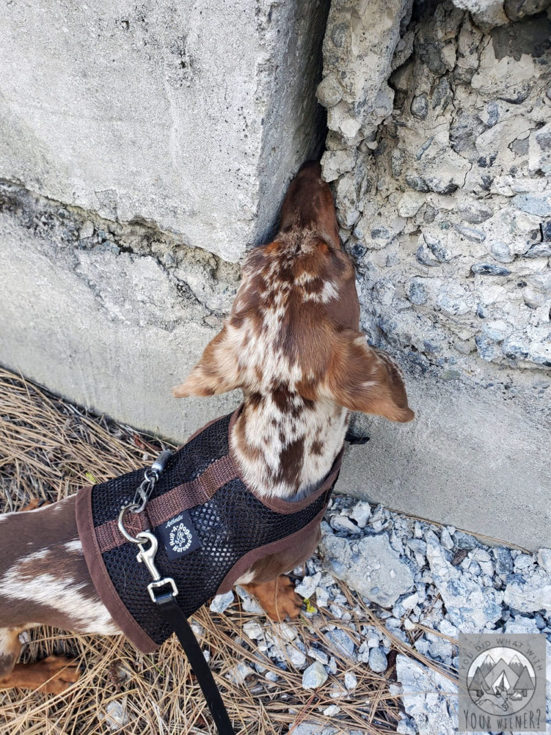 Dachshund sticking her nose in a crack in a concrete wall sniffing for critters.