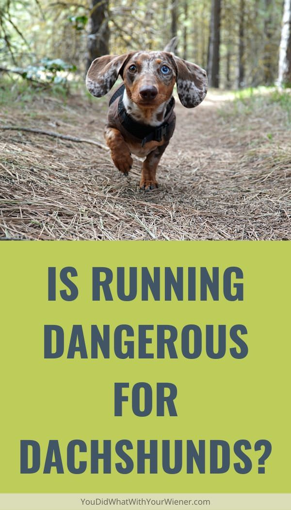 Is running bad for Dachshunds? Is it always dangerous?