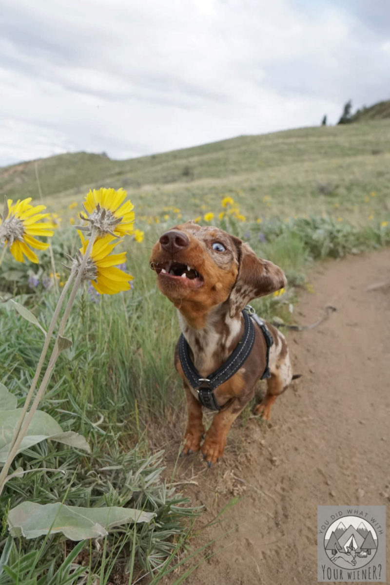 Photo of a Dachshund catching treats making a derpy face