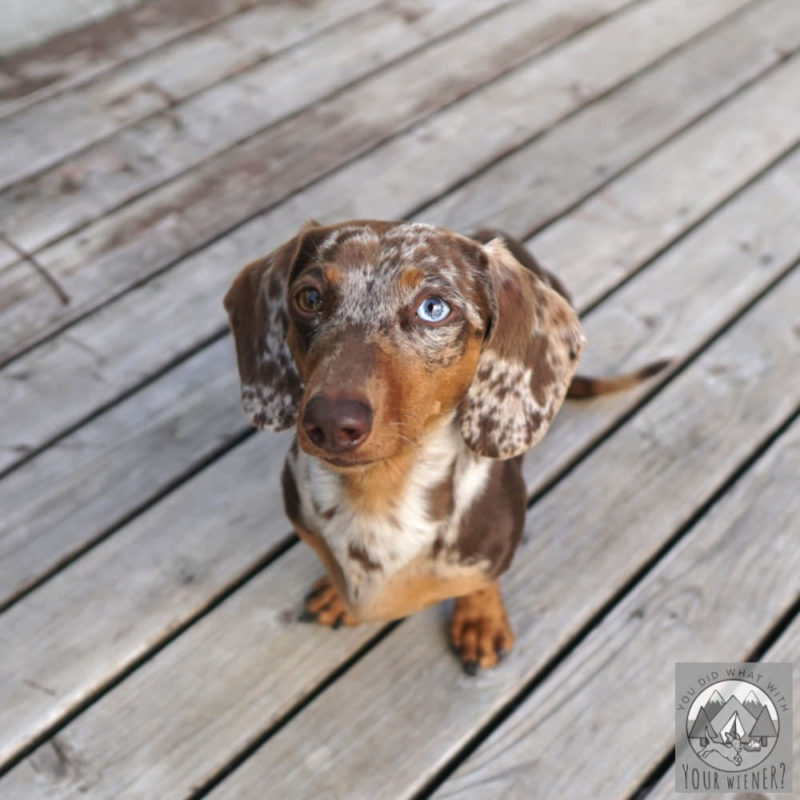Chocolate dapple Dachshund with one blue eye sitting on the deck