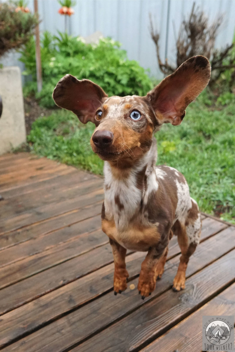 Dachshund jumping up in the air with ears sticking straight up