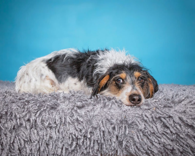 Wirehair Dachshund laying on a rug looking bored against a turquoise  background