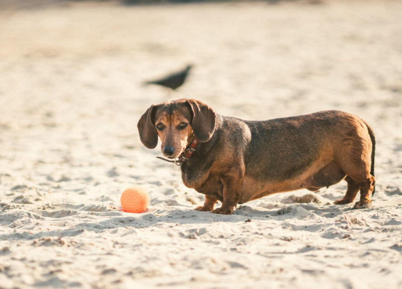 Overweight brown Dachshund on the beach with a ball