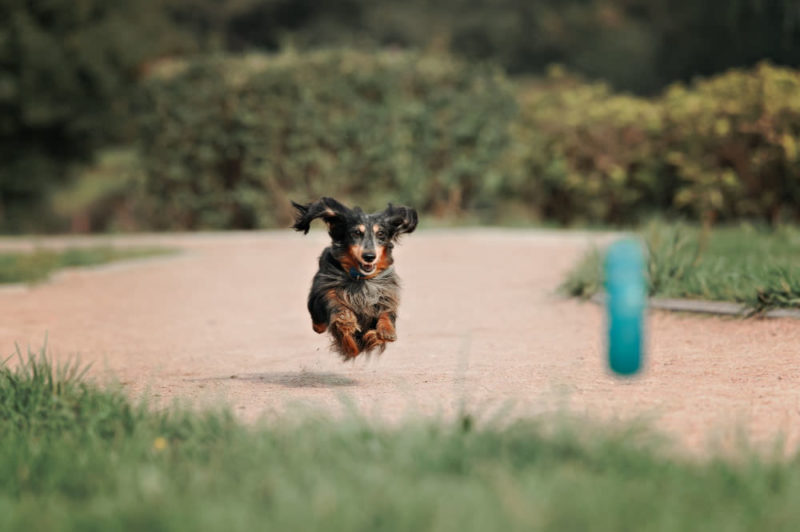 Long haired Dachshund running on a dirt track